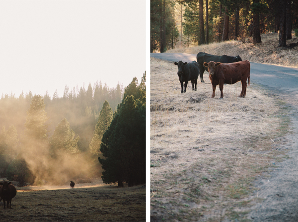 Cows in the wild in Yosemite